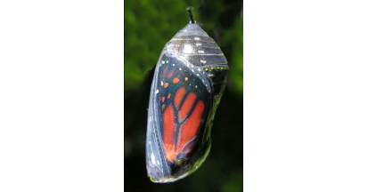 Butterfly in a semi-transparent Chrysalis